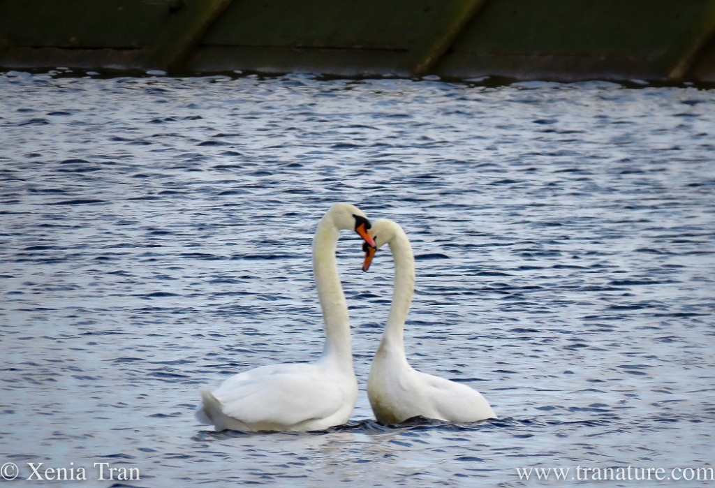 a pair of swans bonding on the river