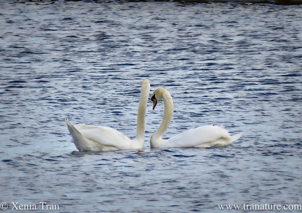 a swan pair bonding on the river