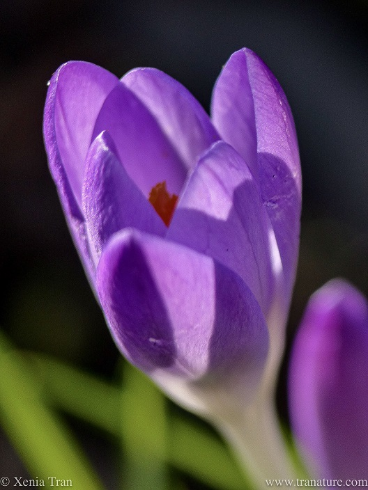 close up of a purple crocus flower half open