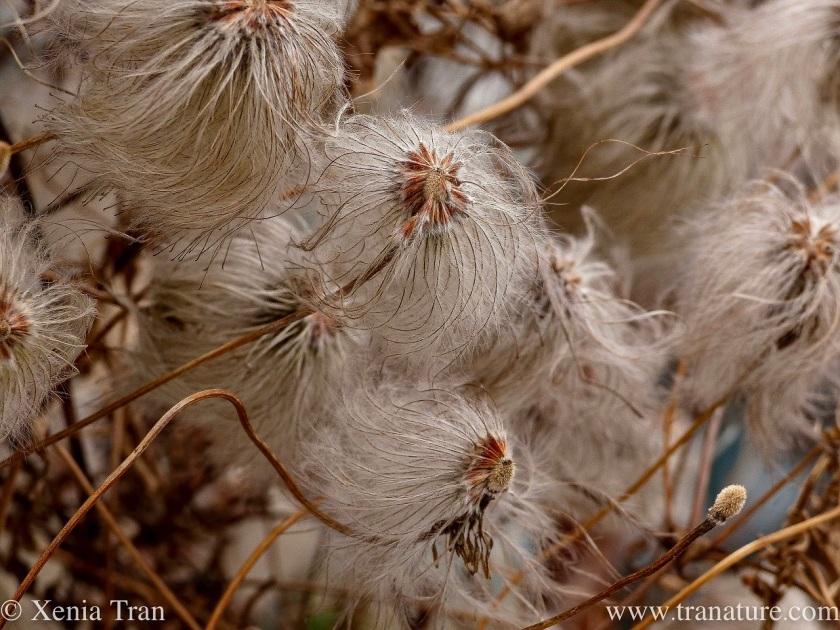 macro shot of clematis seeds on a trellis