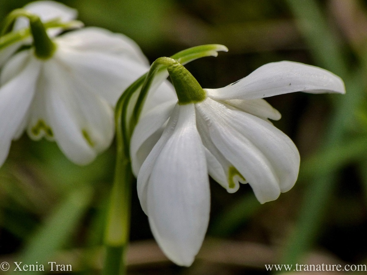 macro shot of two snowdrops