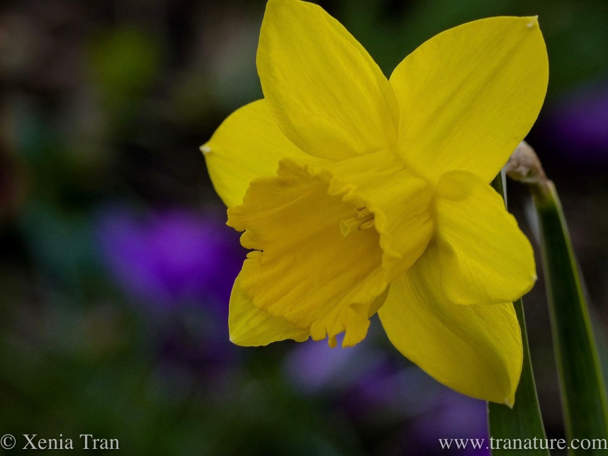 macro shot of a miniature daffodil with purple crocus in the background