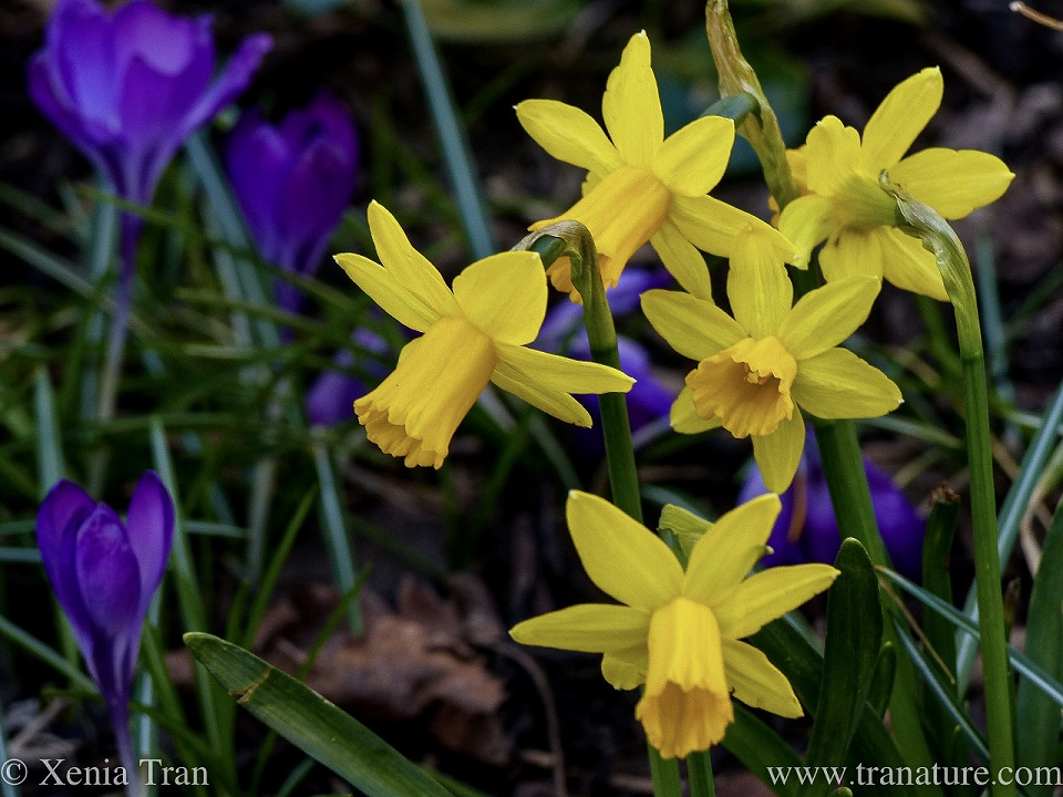 miniature daffodils and purple crocus in bloom