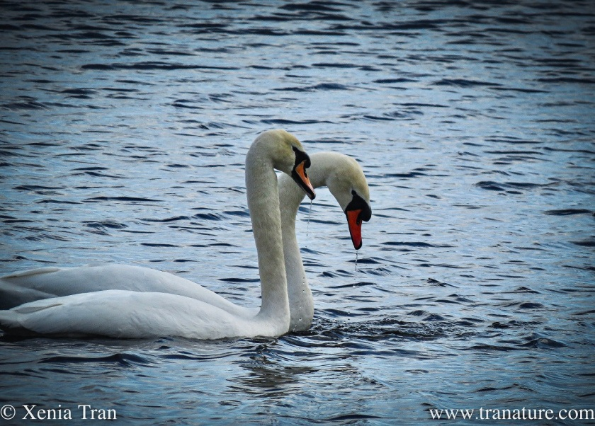 a swan pair swimming closely together on the river