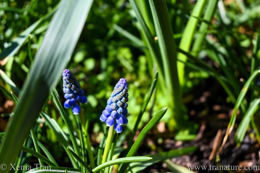 grape hyacinth emerging between daffodil stems