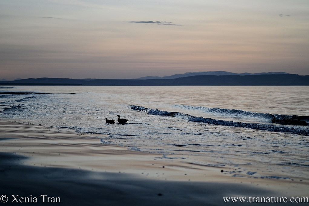 two shelducks approaching the beach from the Moray Firth at sunset