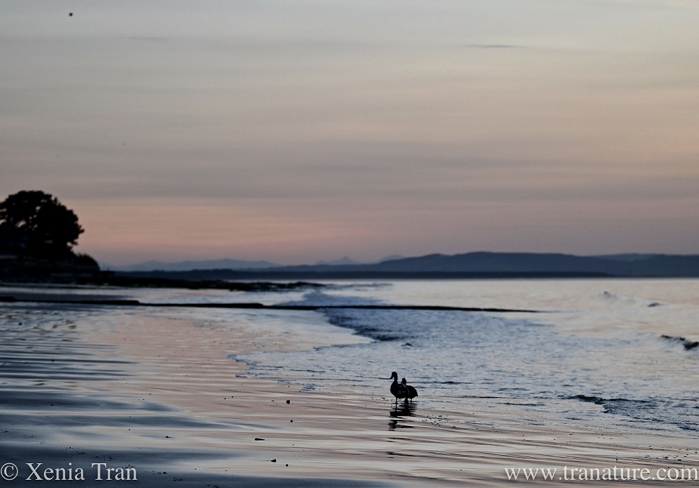 a pair of shelducks walking along the southern shore of the Moray Firth at sunset