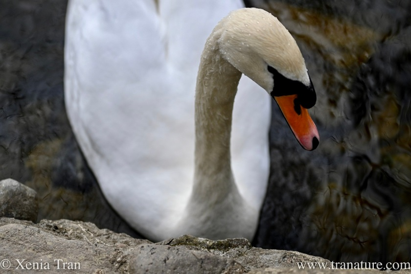 close up of a male swan with droplets of water on the top of his head and neck
