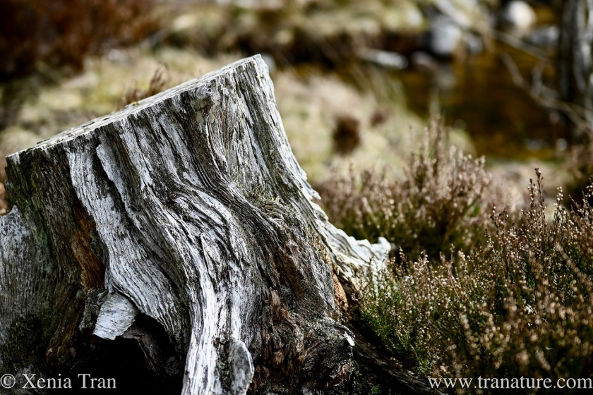 close up of a weathered tree stump surrounded by heather