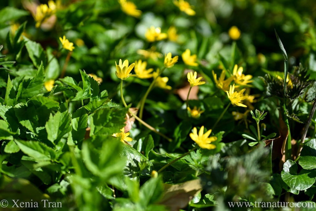 close up of Lesser Celandine in the forest