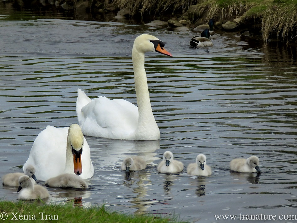 a pair of swans with seven one-week old cygnets