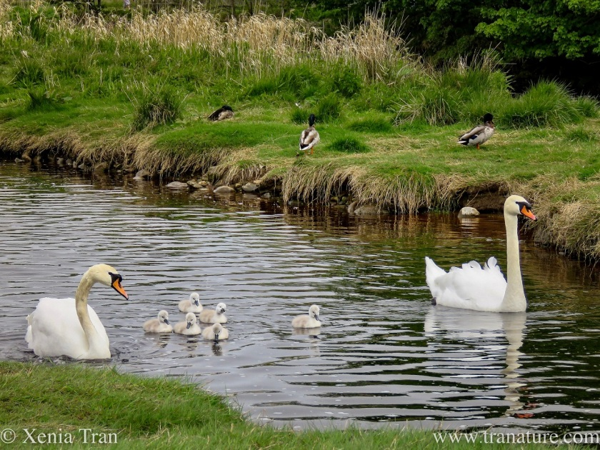 a swan family on the river with six cygnets