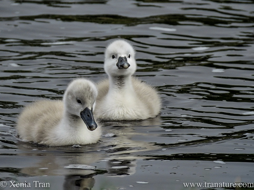 close up of two one-week old cygnets on the river
