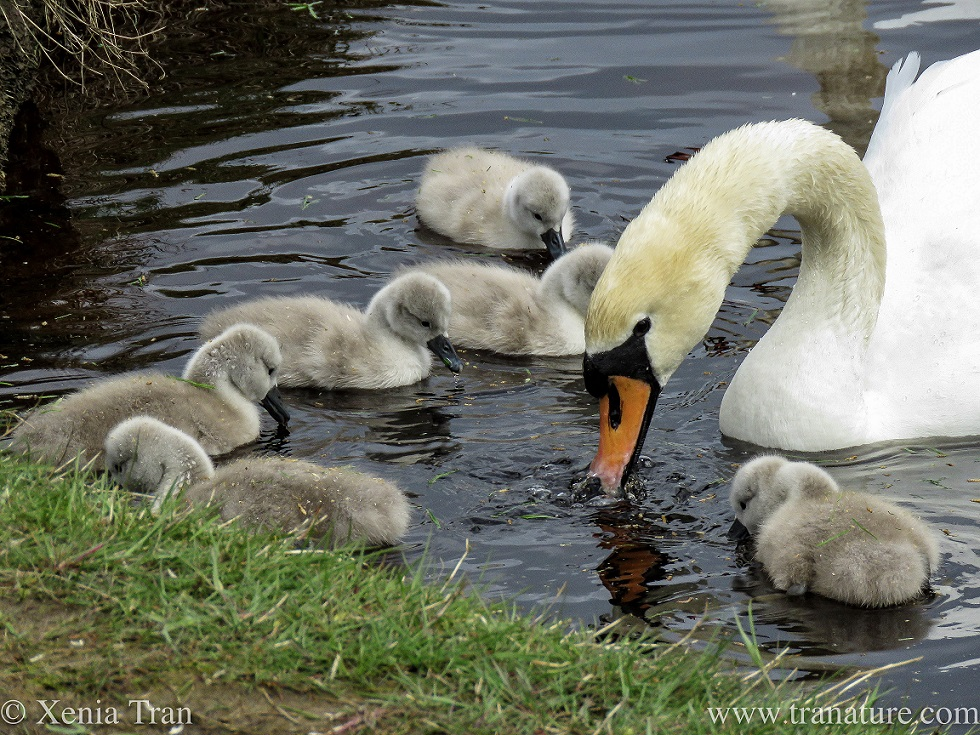 six one-week old cygnets feeding in the river with their mother