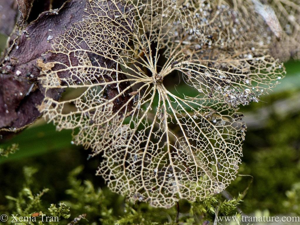 macro shot of hydrangea lace with raindrops