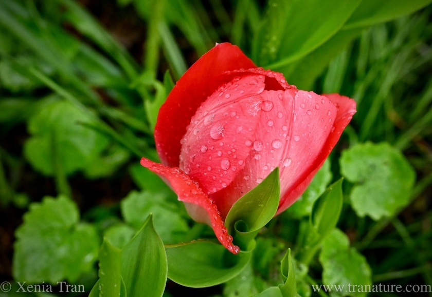 a red tulip covered in raindrops seen from above