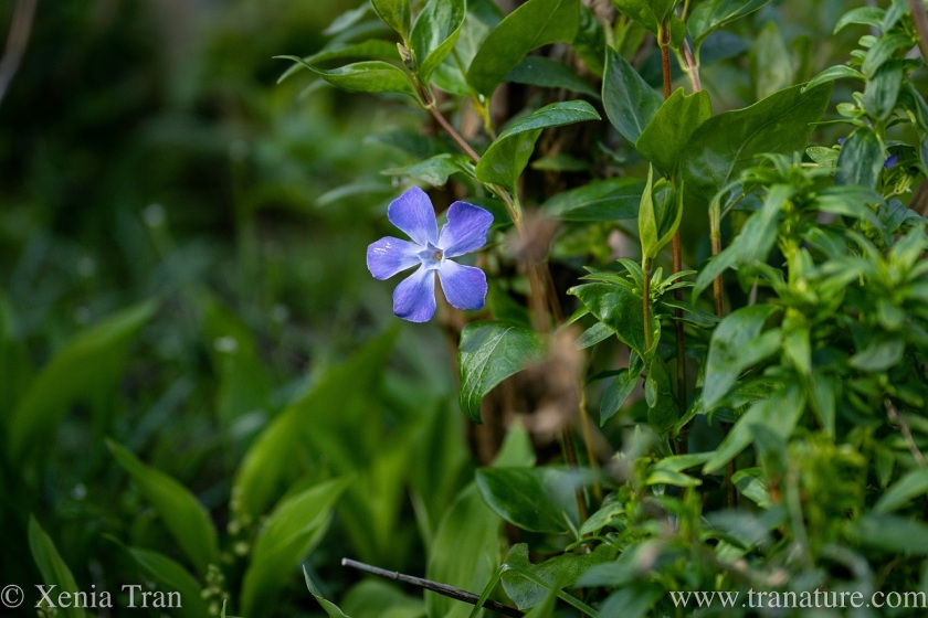 a flowering periwinkle after a rain shower