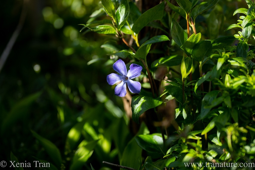 a sun-lit periwinkle flowering among spring leaves