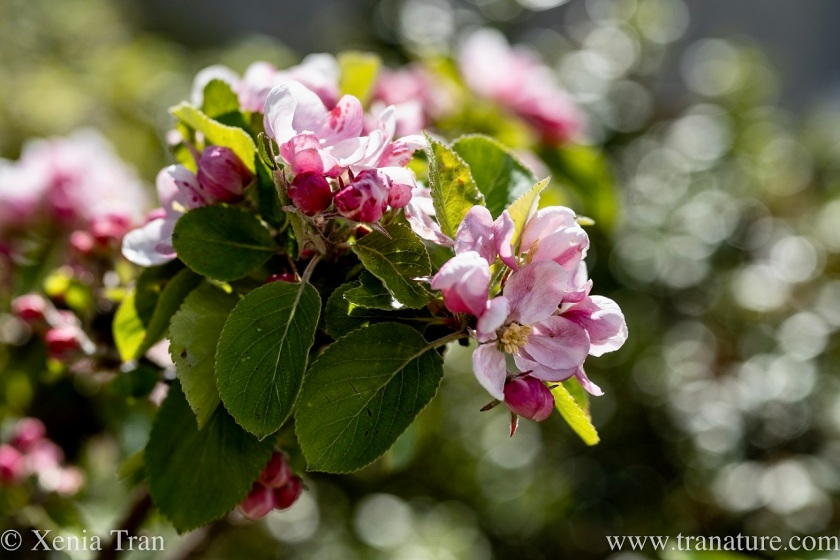 flowering apple blossom in dappled spring light