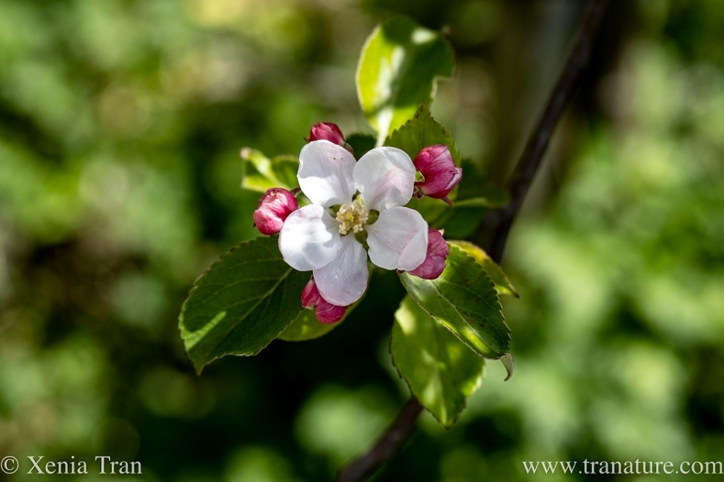close up of a single flowering apple blossom in spring sunshine