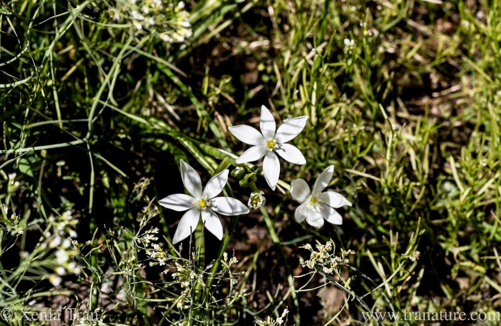 a small cluster of Ornithogalum flowers