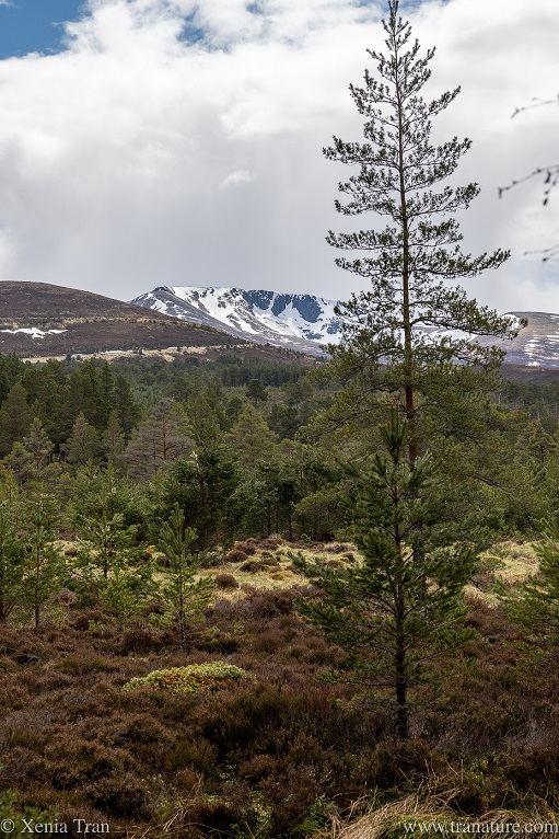 snow-capped corries seen from the forest in the glen