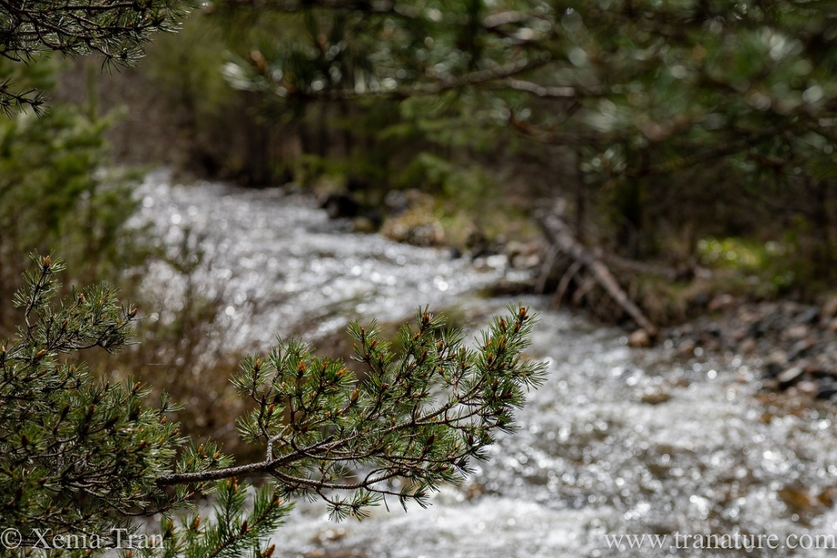 a mountain stream in spate flowing between pine trees