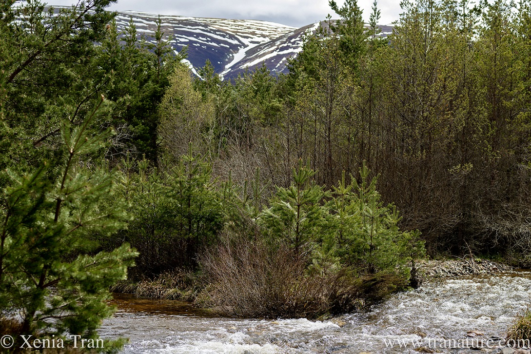 a mountain stream flowing through the pine forest below the snow-capped mountains