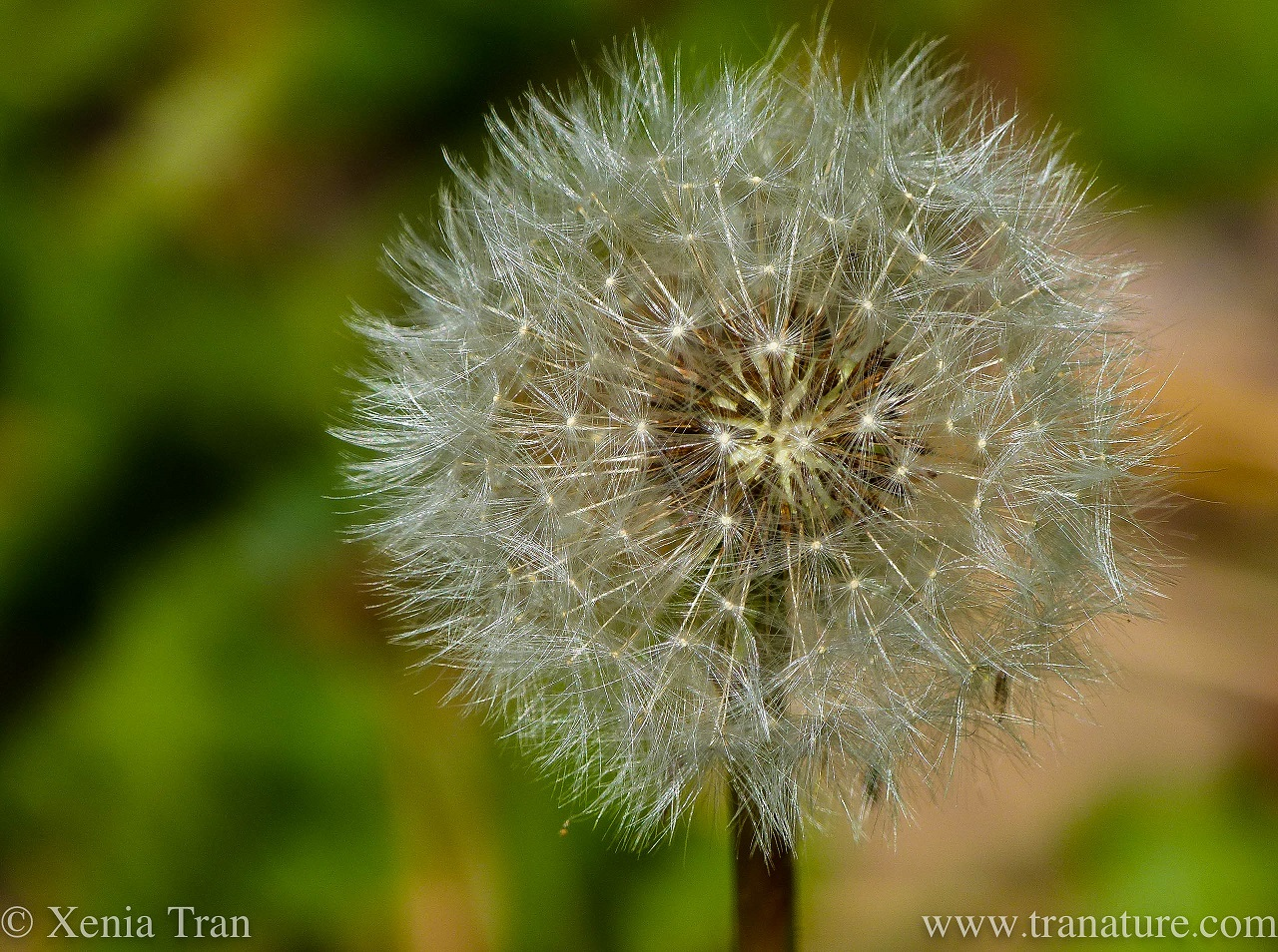 Wordless Wednesday: Dandelion Clock