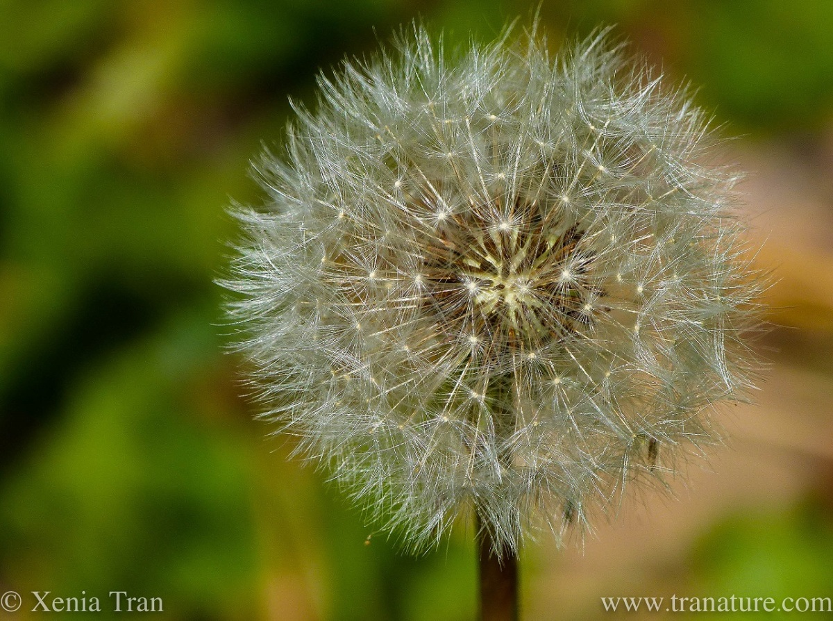close up of a dandelion clock