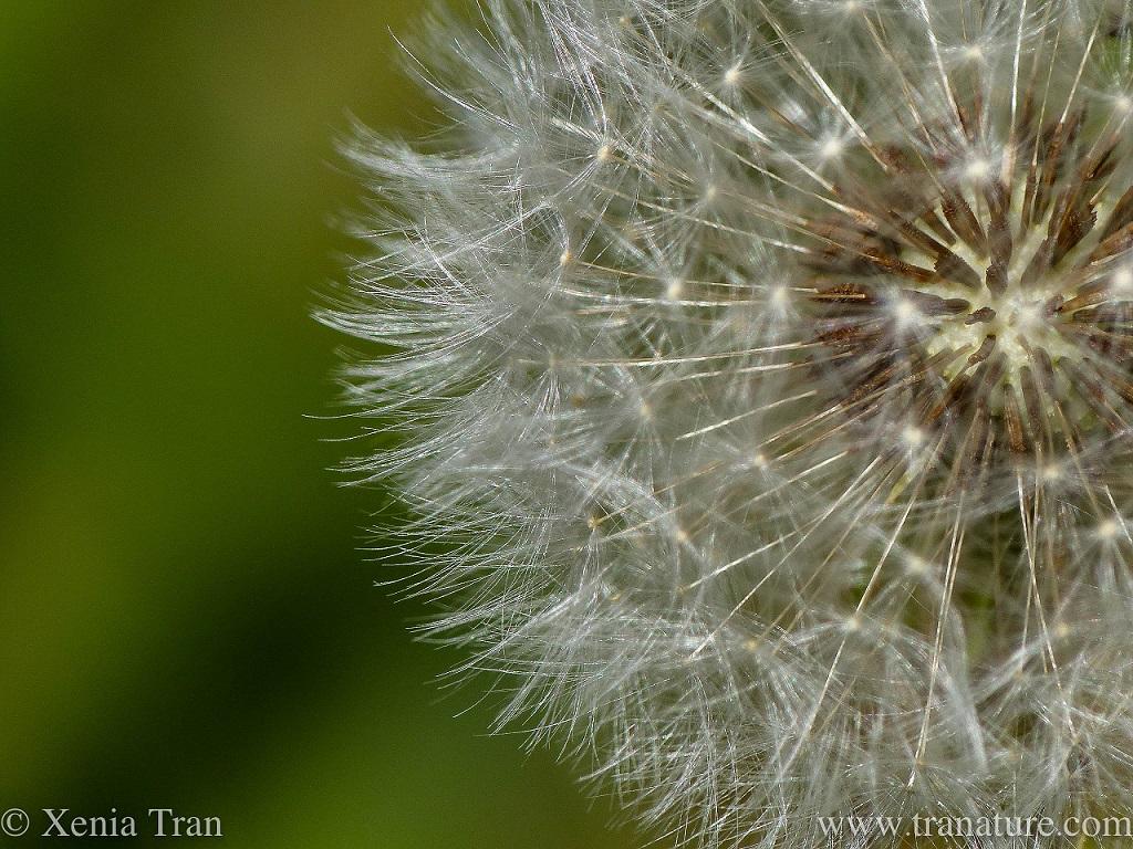 macro shot of a dandelion clock