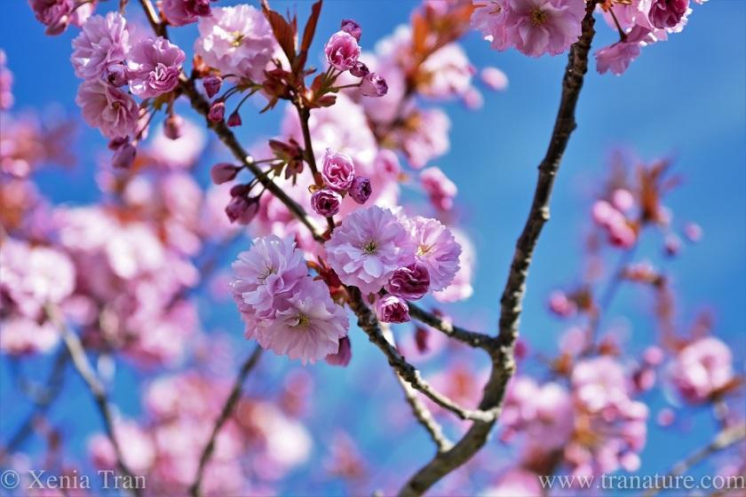 cherry blossom under a blue sky