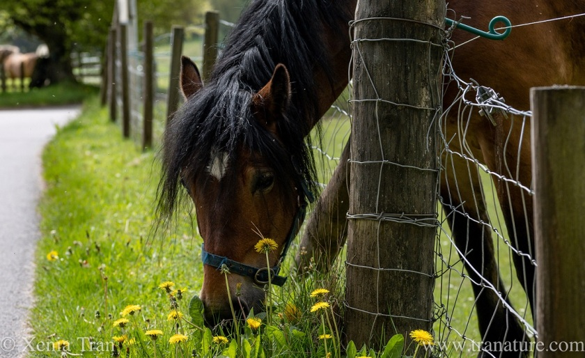a horse leaning over a fence to eat dandelions