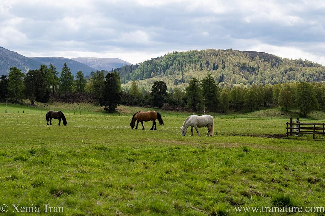 three horses grazing in the glen