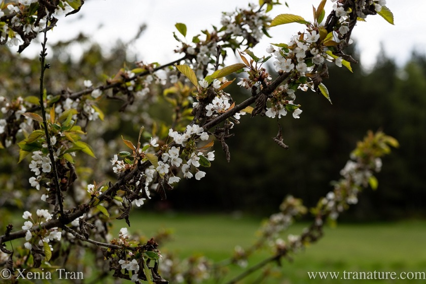 close up of hawthorn blossom with a grazing field in the background