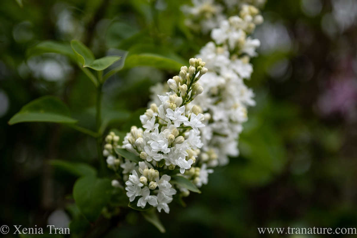 close up of white lilac in bloom