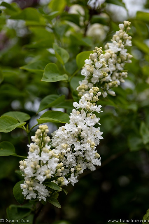 close up of white lilac blooms and buds