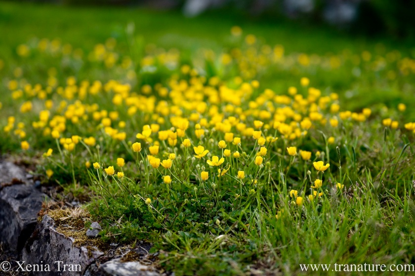 lesser celandine flowering in an abandoned lazybed