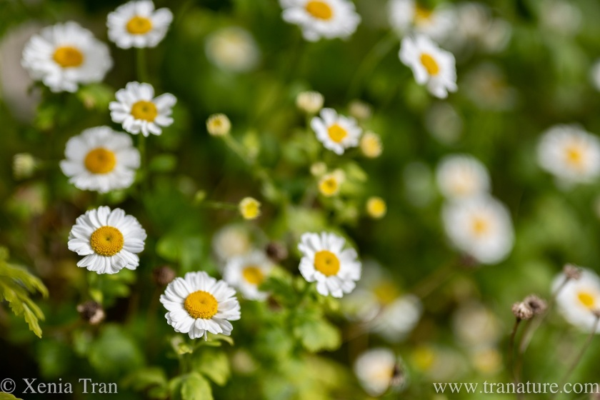 close up of chamomile flowers and buds