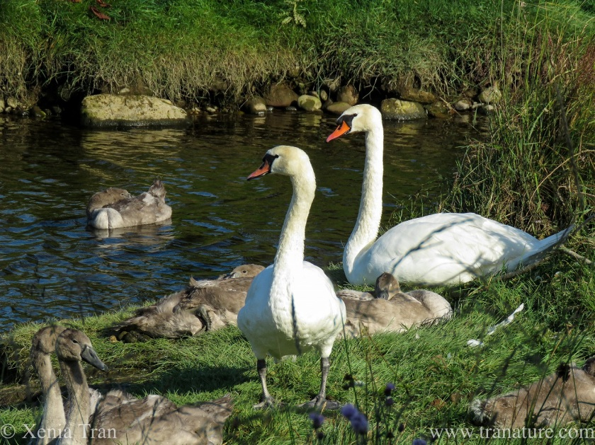 a swan pair with preening cygnets preening by the river