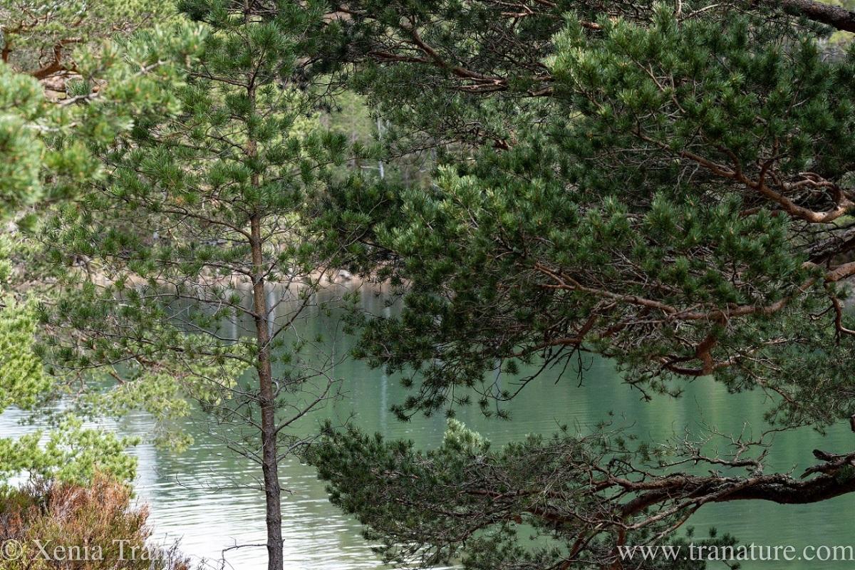 Lochan Uaine seen through the pine trees