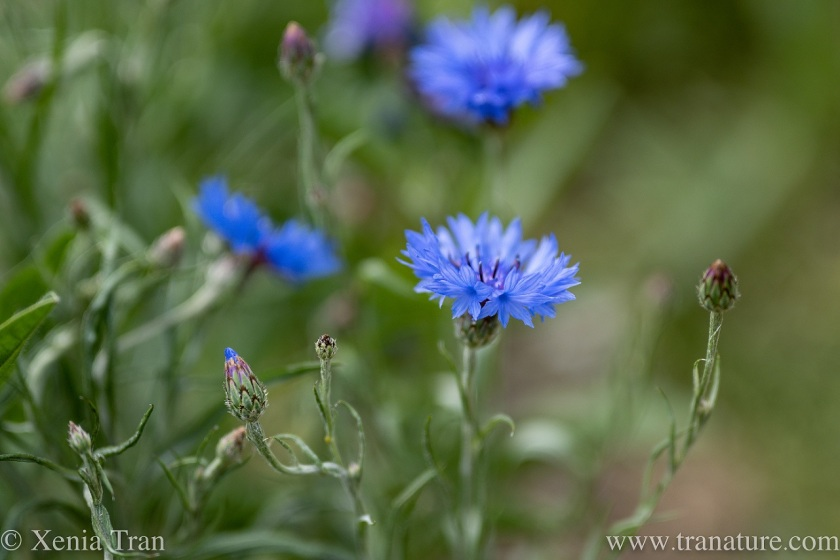 close up of cornflowers in bloom and buds