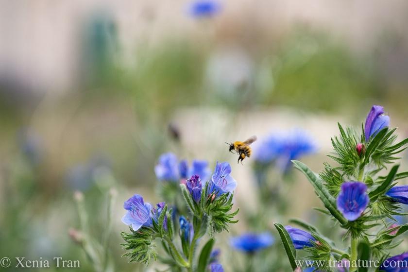 a honeybee landing approaching a viper's bugloss flower for landing