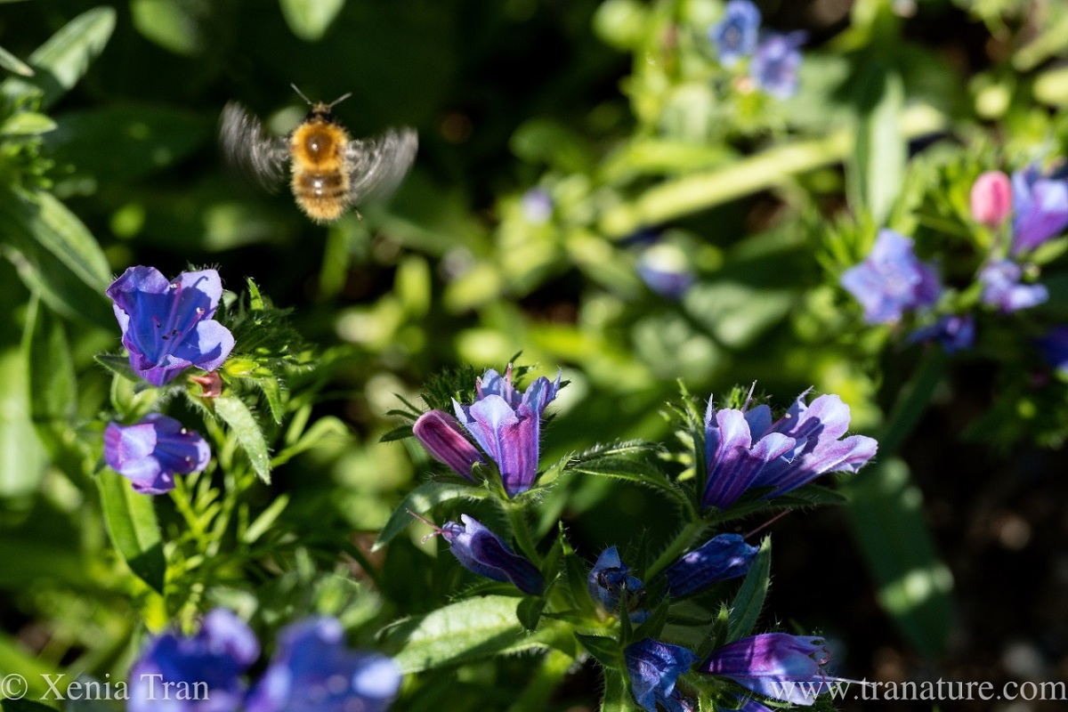 a bumblebee flying above viper's bugloss flowers