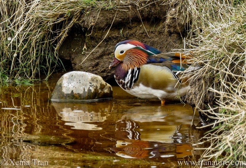 a mandarin duck in the shallows of a tidal river