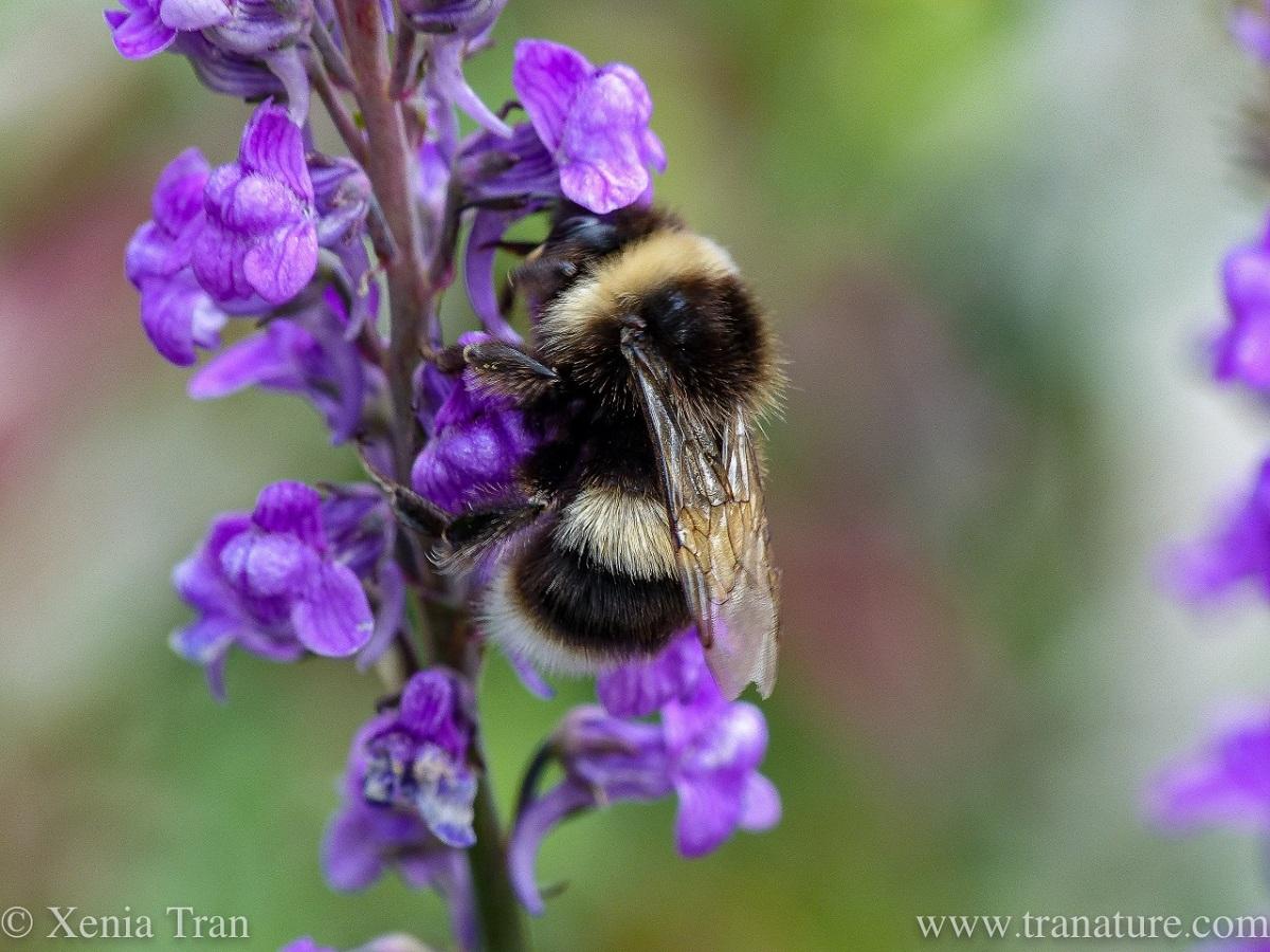macro shot of a white-tailed bumblebee feeding on purple toadflax