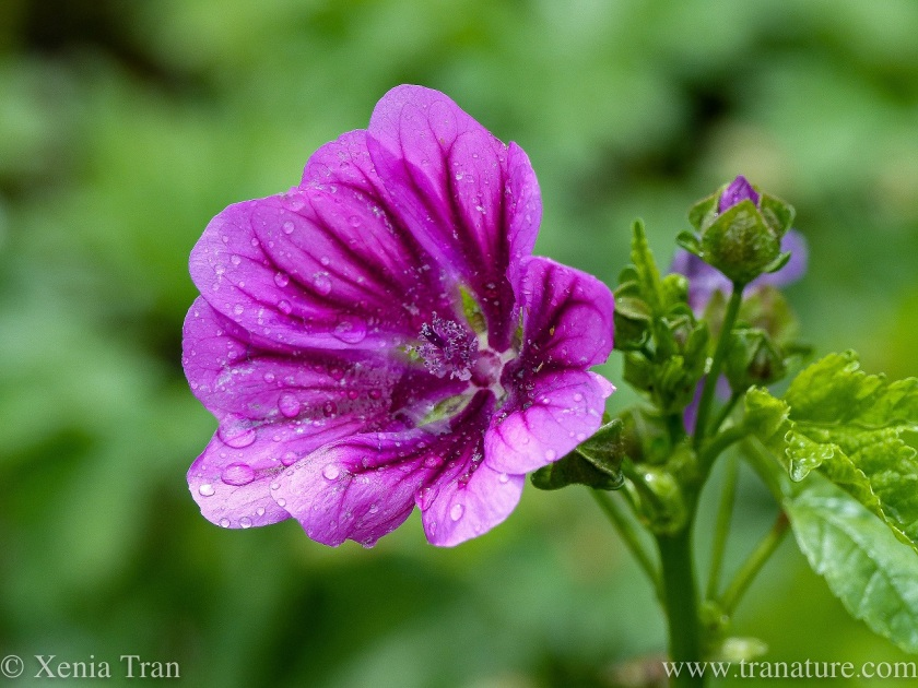 close up of a common mallow and buds with raindrops