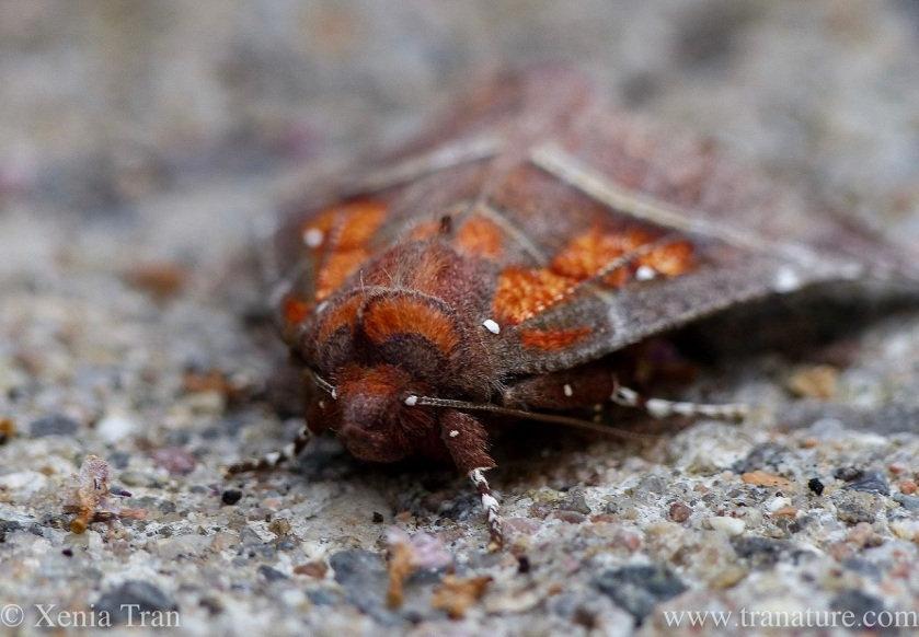 close up of a Herald Moth resting on the pavement