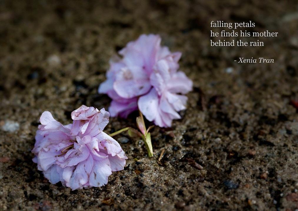 haiku poem by Xenia Tran with fallen cherry blossom