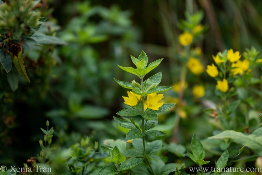 yellow loosestrife flowering in the forest